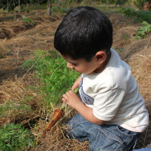 Silver Oak Farm, Nandi Hills, harvesting carrots