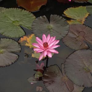 Our Native Village, Bangalore, lotus pond