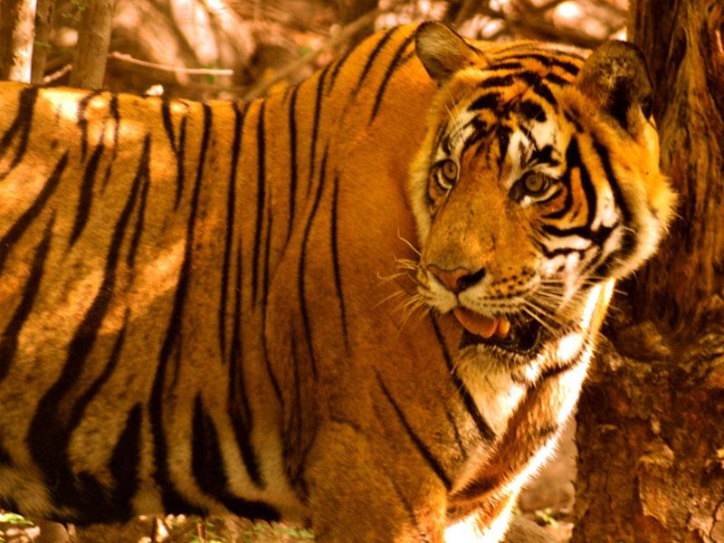 Ranthambore-Safari-Tiger