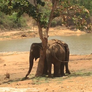 Bannerghatta National Park - Wild elephants