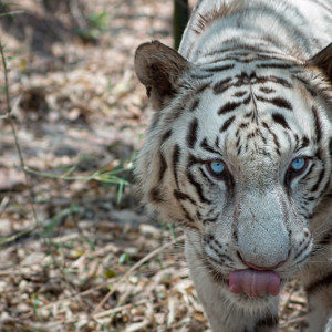 Bannerghatta National Park - White Tiger