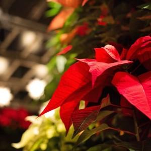 Christmas_party_poinsettia