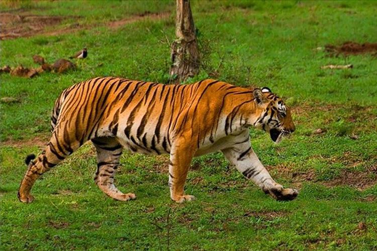 tiger_nagarhole