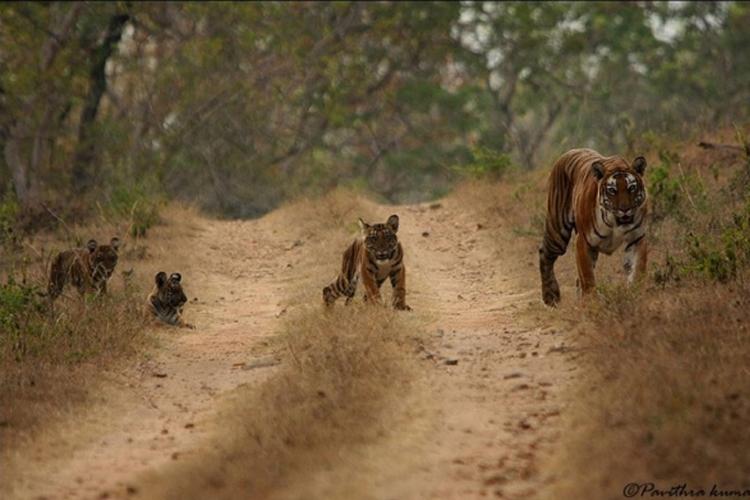 tiger_bandipur
