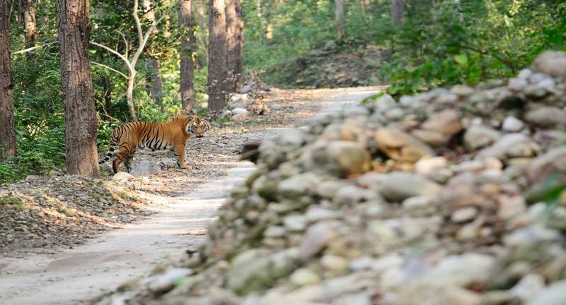 Tiger Spotting at Corbett National Park