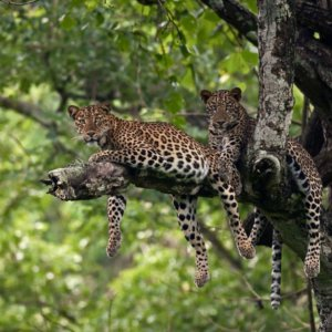 outback_experience_kabini_leopard