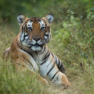 outback_experience_kabini_tiger