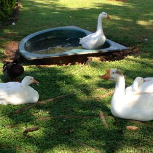 EmbassyRidingSchool-Goose