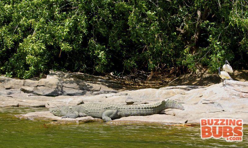 Ranganthitu-Crocodile-100years