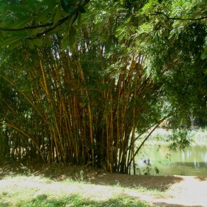 lalbagh botanical garden, bamboo