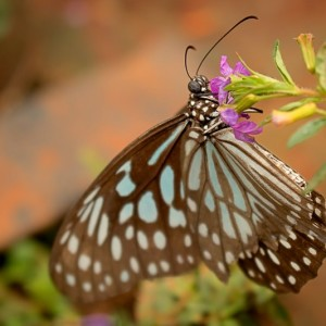 Bannerghatta National Park - Butterfly Park - Dark Blue Tiger (Tirumala septentrionis)