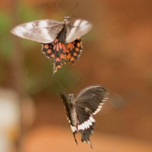 Bannerghatta National Park - Butterfly Park - Common Mormon female and Common Rose -- Pachliopta aristolochiae Fabricius