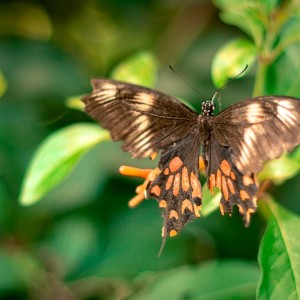 Bannerghatta National Park - Butterfly Park - Common Mormon female