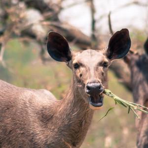 Bannerghatta National Park - Deers