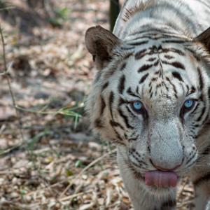 Bannerghatta National Park - White Tiger