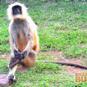 Langur in Ranthambore Jungles