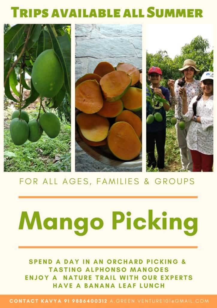 Go Mango Picking at Chiguru Farm Cover Image